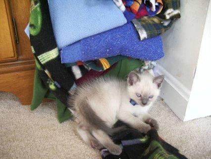 Siamese Kitten Ready Now