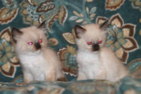 Ragdoll kittens - Ready Now. 2 left!