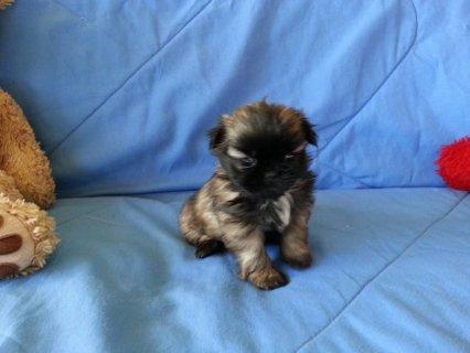 CKC Shih-TZU Puppy 8 weeks old