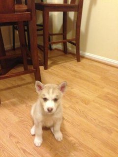 8week old pure 100% Siberian huskies/husky