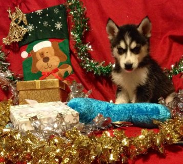 صور AKC~Health Tested Parents~Siberian Husky Puppies  1