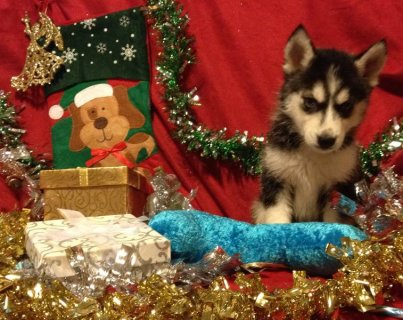 صور AKC~Health Tested Parents~Siberian Husky Puppies  2