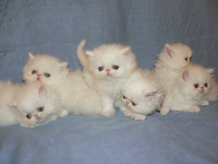 White Persian Kittens Ready for Christmas