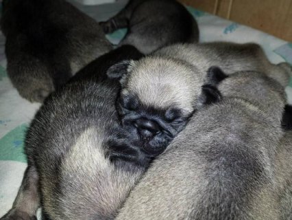 Pug Puppies For Sale! **AKC** Fawn Quality