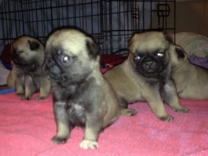 AKC CHAMPION BLOOD LINE PUGS