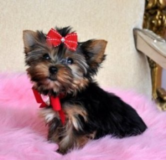 Tiny Teddy-Bear Face Yorkie Pup
