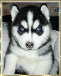 Stunning Siberian Husky Puppies