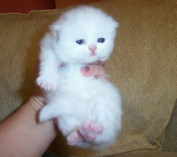 Cute White Persian female kitten for adoption9