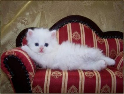 Cute Persian Kittens for Sale4sss