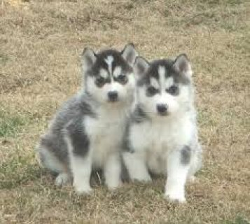 2 Siberian Husky Puppies with Blue Eyesgty