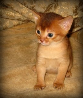 2 Adorable lovable energetic Abyssinian kittens5