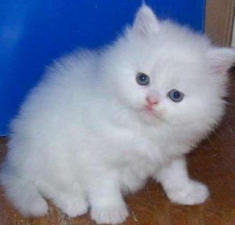 2 Terrific British Shorthair Kittens for your home
