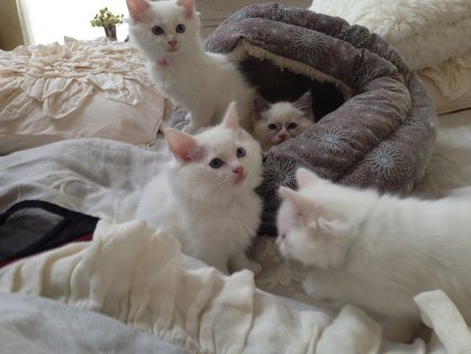 صور Snow White persian  Kittens for good homes(10weeks old) 1