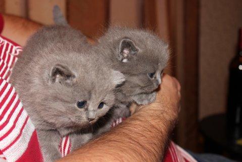 British shortharir kittens for adoption
