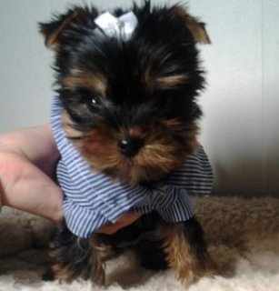 Adorable Yorkie puppies for sale1