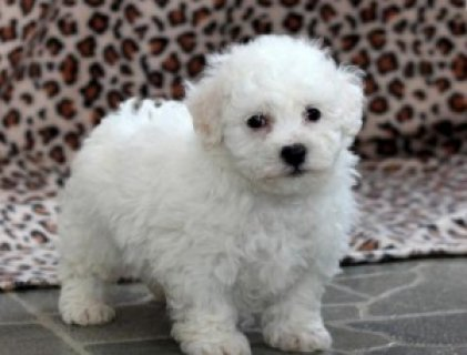 Excellent Bichon Frise Puppies