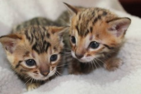 2 Bengal kittens Available