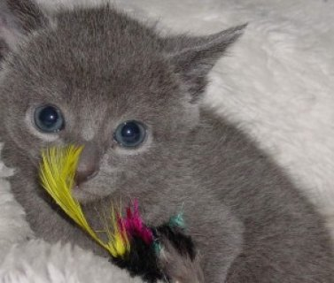 صور Russian Blue Kittenssss 1