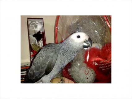 Super Cute African Grey Parrots For Adoption