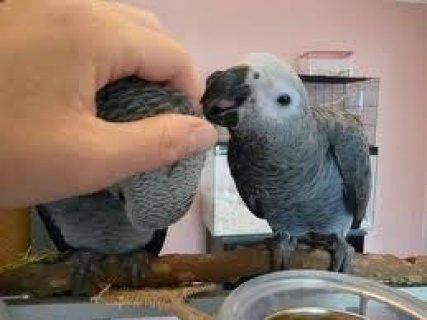 Congo African Greys Parrots