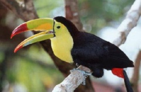 Nice Toucan Bird For Adoption