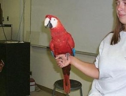 Obedient and Intelliegtn Scarlat Macaw Parrots For Good Homes