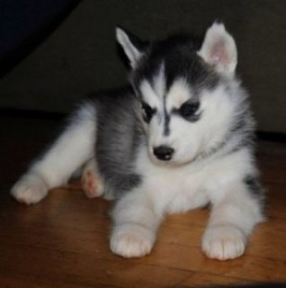 Husky Puppies Searching for New Home