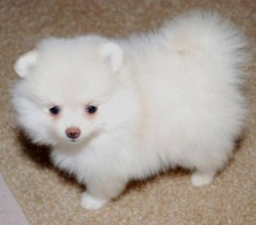صور Affectionate and Affordable Teacup Pomeranian Puppies 1