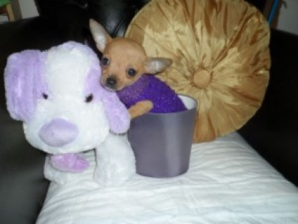 Tiny Female Chihuahua for Sale