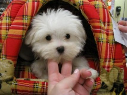 2 Teacup Maltese Pups