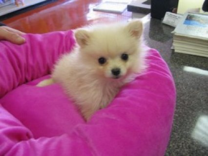 Cute Pomeranian Puppies Available3