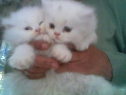 Charming Gifts:Baby Face Persian Kittens Ready For Sale435