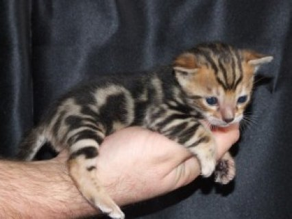male and female Bengal kitten for adoption.564