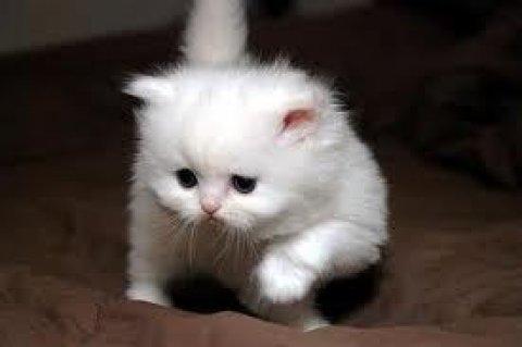 Adorable CFA Persian Kittens 24