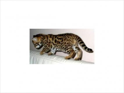 WE DO HAVE ADORABLE BENGAL KITTENS FOR RE HOMING
