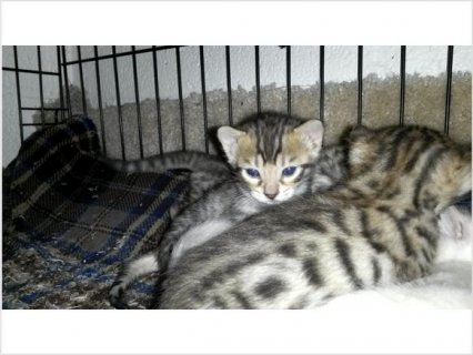 Bengal kittens -  with new pictures!