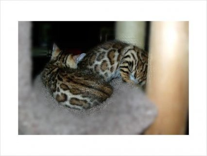 Quality BENGAL KITTENS AVAILABLE