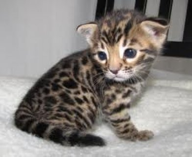 Healthy Bengal Kittens for Sale32