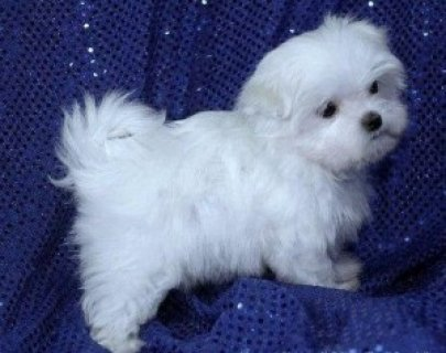 2Excellent Maltese Puppies for Sale