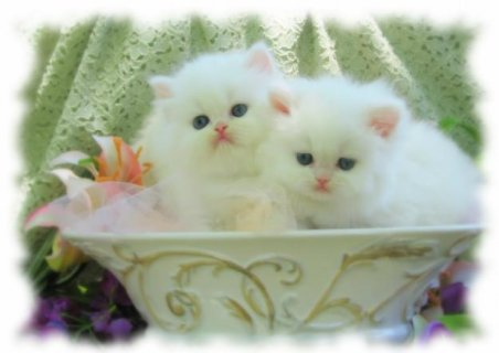 2 Orange tabby,super flat nose, show quality persian needed.