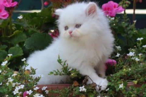 Persian Kittens Available  1