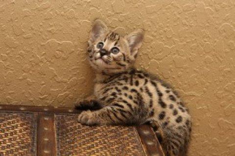 Beautiful Savannah kittens tica reg f2  3