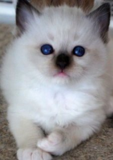Ragdoll Kitten For Sale  224