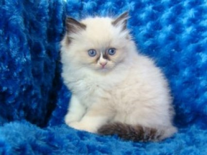 2 Ragdoll Kittens Available