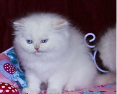 My Persian Kittens for Sale