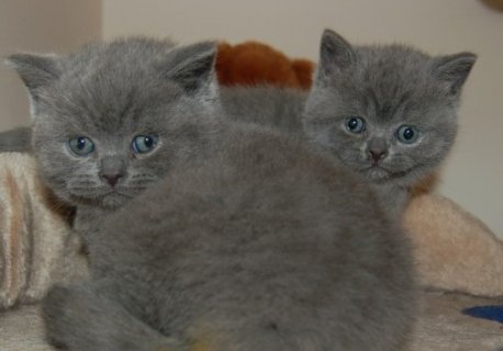 British Short Hair Kittens Ready Now