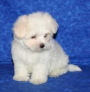 Awesome Maltese Puppies for Adoption