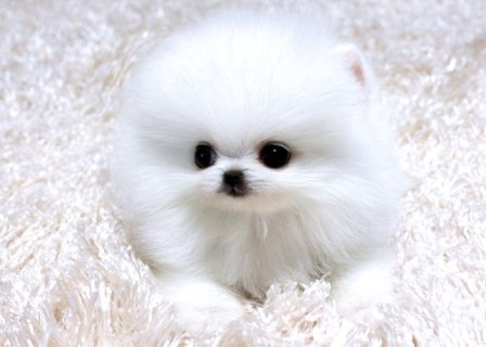 Four teacup Gorgeous Pomeranian Puppies for adoption