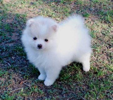 Adorable Teacup Pomeranian Puppies For Free Adoption