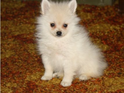 Nice Pomeranian puppies